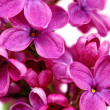 Beautiful Bunch of Lilac close-up — Stock Photo