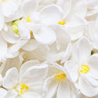 Beautiful white Lilac. Macro. — Stock Photo