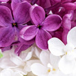 Beautiful Bunch of violet and white Lilac — Stock Photo