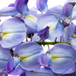 Beautiful Wisteria flowers isolated.On white background — 图库照片