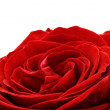 Beautiful red  rose flower. Isolated. — Stock Photo