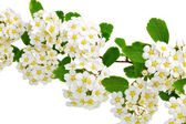 Beautiful white flowering shrub Spirea aguta (Brides wreath). — Stock Photo