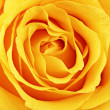 Beautiful yellow rose flower. Сloseup — Stock Photo #25031775