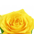 Beautiful yellow rose flower. Сloseup. Isolated. — Stock Photo