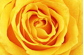 Beautiful yellow rose flower. Сloseup — Foto Stock