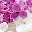 Beautiful Bunch of violet and white Lilac — Stock Photo #25245187