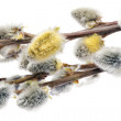 Branches of the pussy willow with flowering bud.Isolated. — Stock Photo