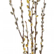 Stock Photo: Branches of the pussy willow with flowering bud.Isolated.