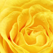 Beautiful yellow rose flower. Сloseup — Stock Photo