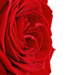 Beautiful single red  rose flower. Isolated. — Stock Photo