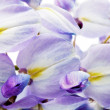 Beautiful Wisteria flowers isolated.On white background - Stock Photo