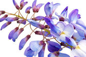 Beautiful Wisteria flowers isolated.On white background — Stock Photo
