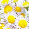 A lot of White camomiles. - Stock Photo