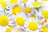 A lot of White camomiles. — Stock Photo