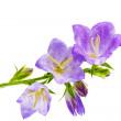 Bluebell on the white background. Close-Up — Stock Photo