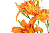Tiger lilies on white background. Isolated — Stock Photo