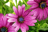 Flowers of Gazania with drops. (Splendens genus asteraceae) — Stock Photo