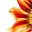 Stock Photo: Single flower of Gazania. (Splendens genus asteraceae).Isolated