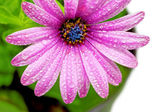 Single flower of Gazania with drops. (Splendens genus asteraceae — Stock Photo
