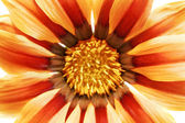 Single flower of tiger Gazania. (Splendens genus asteraceae).Iso — Stock Photo
