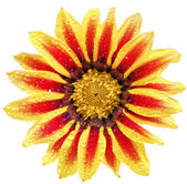 Single flower of tiger Gazania with drops. (Splendens genus aste — Stock Photo