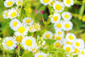 On the field with White wild camomiles — Stock Photo