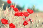 草原に咲くポピーの完全に夏の日. — ストック写真