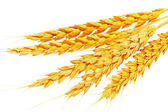 Wheat ears lie. Isolated on white background — Stock Photo