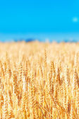 Field of golden rye close-up — Stock Photo