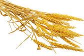 épis de blé se trouvent. isolé sur fond blanc. — Photo