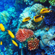 Stock Photo: Coral and fish in the Red Sea. Egypt, Africa.