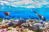 Coral and Fish-surgeon in the Red Sea. Egypt, Africa . — Stock Photo