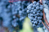 Red grapes — Foto de Stock