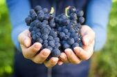完整的红葡萄的手 — 图库照片