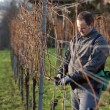 Vintner is pruning in the vineyard — Stock Photo
