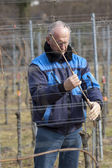 Experienced Vintner is working in the vineyard — Stock Photo