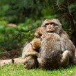 Stock Photo: Berber Monkeys