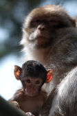 Berber Monkeys — Stockfoto