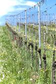 Rangée de vigne — Photo