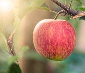 Pomme rouge sur l'arbre en verger de pommiers — Photo