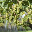 White Grapes in the Vineyard — Stock Photo