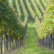 Beautiful rows of grapes in the vineyard — Stock Photo