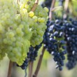 Red And White Grapes in the Vineyard — ストック写真