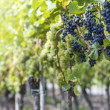 Red And White Grapes in the Vineyard — Stock Photo