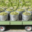 Containers Full Of White Grapes On The Trailer — Stock Photo