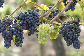 Red And White Grapes in the Vineyard — Stock fotografie