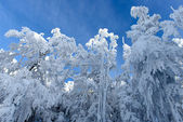 Snowy Trees in Winter — Stok fotoğraf