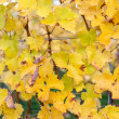 Yellow Leaves in Vineyard — Stock Photo #35390393