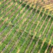Rows of Vineyard — Stock Photo