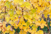 Yellow Leaves in the Vineyard — Stock Photo